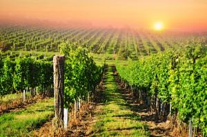 Vineyard medium